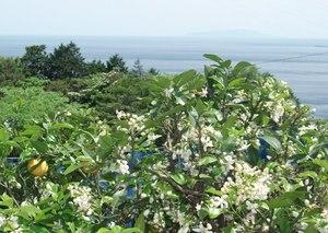 丘 咲く みかん 花 の